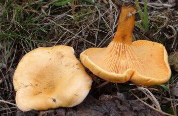 Hygrophoropsis aurantica