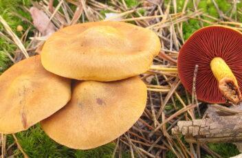 Cortinareus semisanguineus