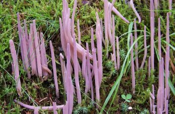 Alloclavaria purpurea