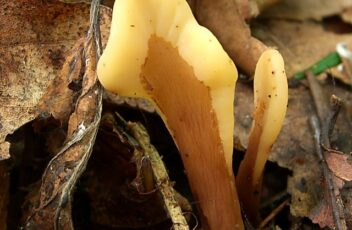 Spathularia flavida