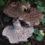Sarcodon imbricatus
